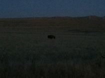 a free range bison we spotted on our way back to camp after sunset
